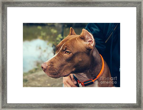 Cute Beautiful Dog Pit Bull Framed Print