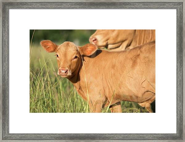 Framed Print featuring the photograph Cute Calf by Rob D Imagery
