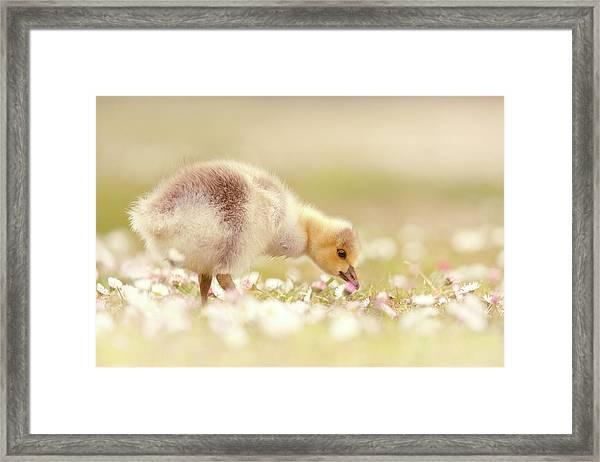 Cute Overload Series - Grazing Gosling Framed Print