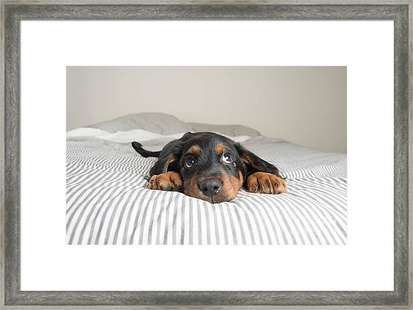 Cute Rottweiler Mix Puppy Sleeping On Framed Print