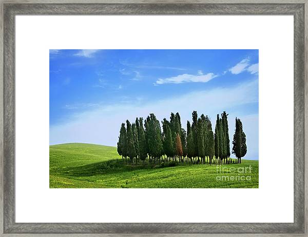 Cypress Stand Framed Print