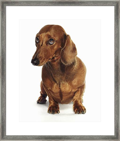 Dachshund Looking Up Framed Print