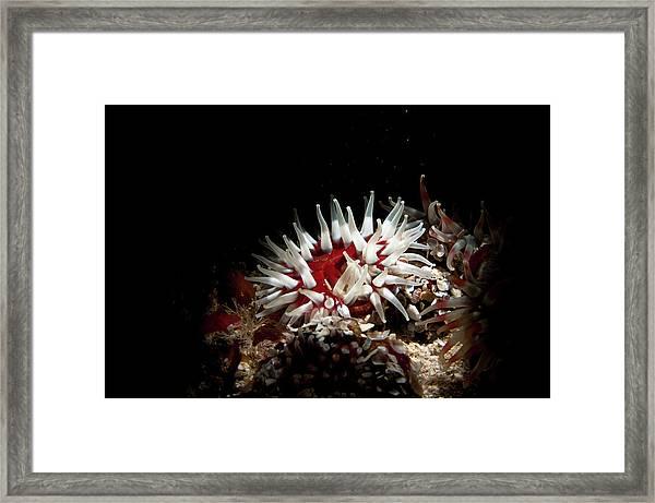 Dahlia Anemone Urticina Felina Framed Print
