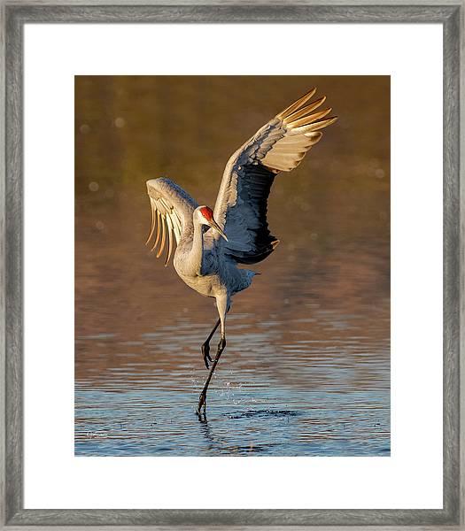 Dance Of The Sandhill Crane Framed Print