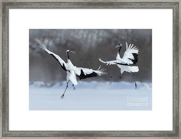 Dancing Pair Of Red-crowned Cranes With Framed Print