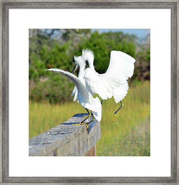 Dancing Snowy Egrets Framed Print