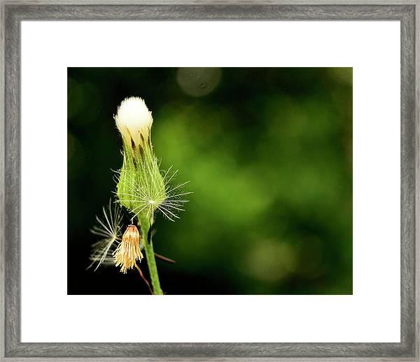 Dandelion Party Framed Print