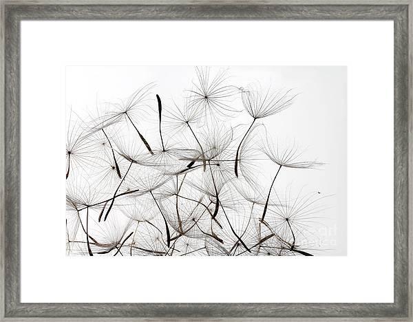 Dandelion Seeds Over White Background Framed Print