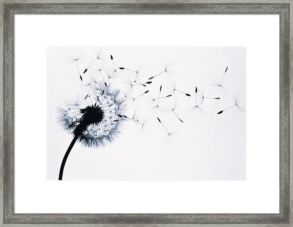 Dandelion Taraxacum Officinale Seed Framed Print