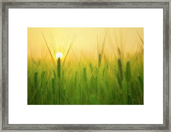 Dawn At The Wheat Field Framed Print