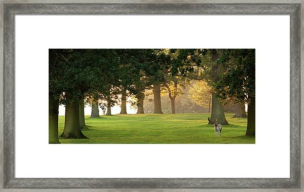 Deer Amongst Oak Trees Framed Print