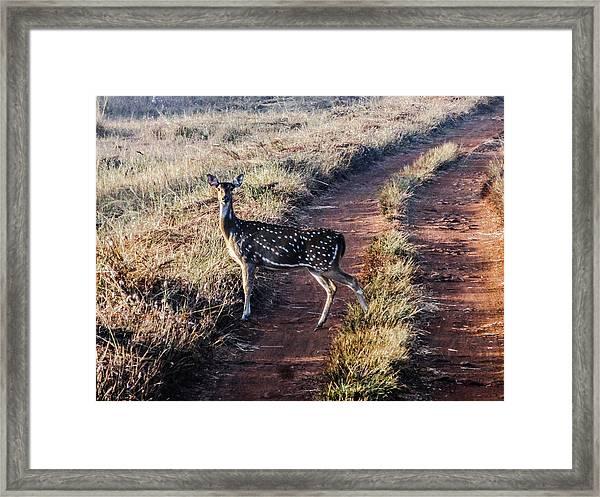 Deer Posing Framed Print