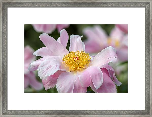Delicate Pink Peony Framed Print