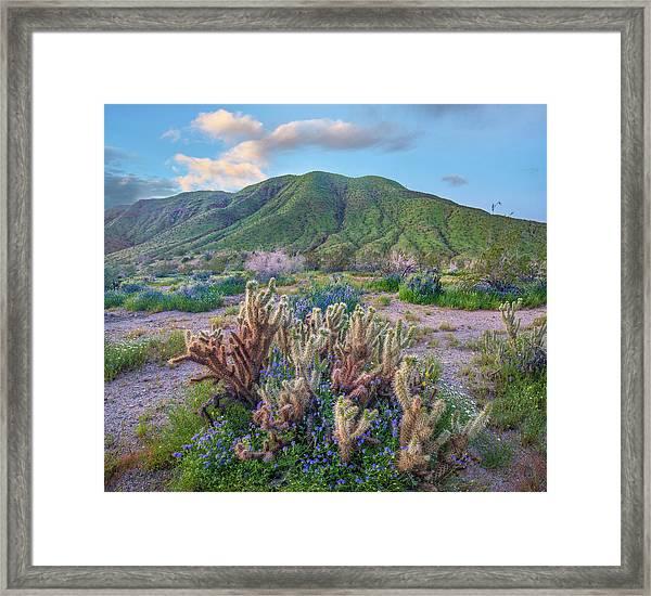 Desert Bluebell And Teddy Bear Cholla Framed Print