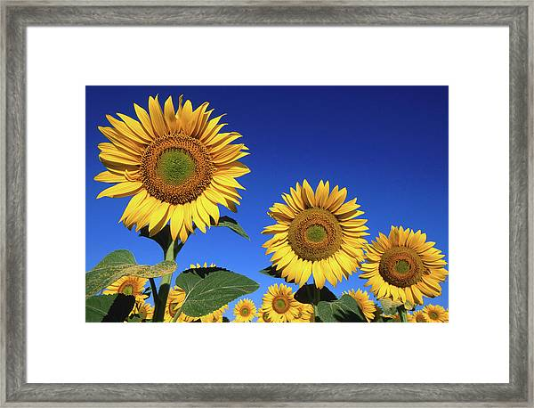 Detail Of Sunflowers, Tuscany, Italy Framed Print by John Elk Iii