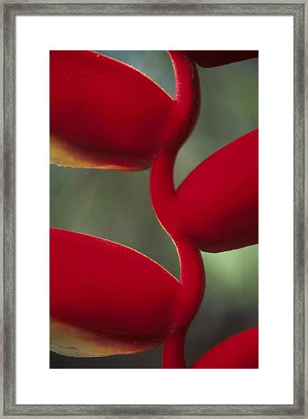 Detail Of The Heliconia Flower In Framed Print by Veronique Durruty