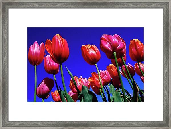 Detail Of Tulips At Tesselaar Tulip Framed Print