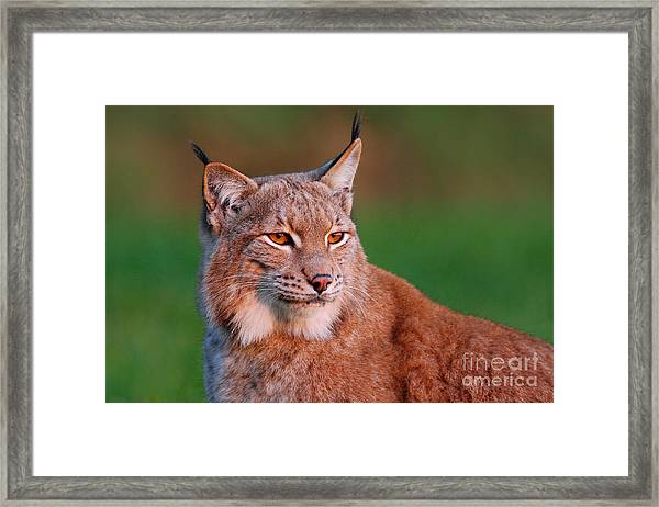Detail Portrait Of Lynx, With Beautiful Framed Print