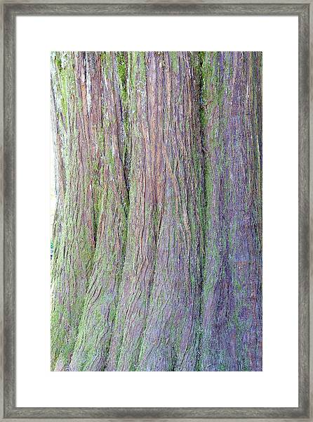 Details, Old Growth Western Redcedar Framed Print
