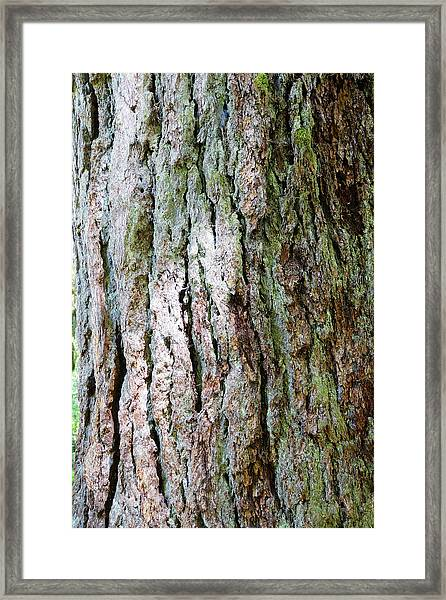 Details, Old Growth Western Redcedars Framed Print