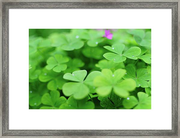 Dew Drops In Clover Field In Provence Framed Print by Alexandre Fp