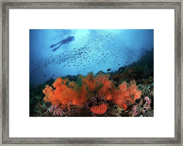 Diver And Soft Corals In Pescador Island Framed Print