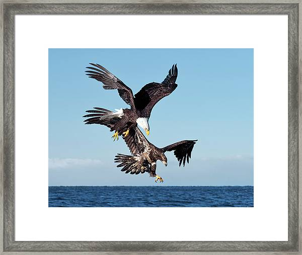 Diving Duo Framed Print