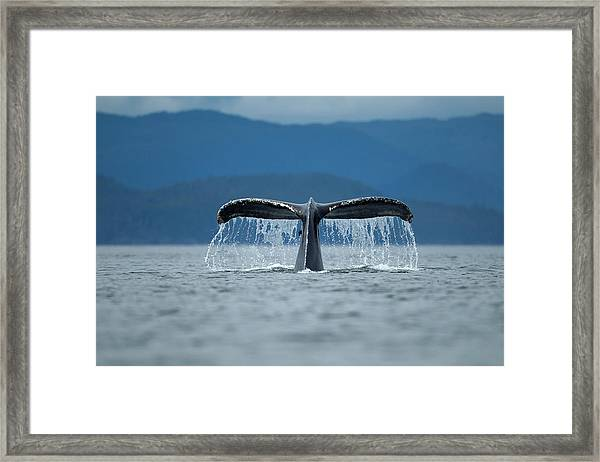 Diving Humpback Whale, Alaska Framed Print