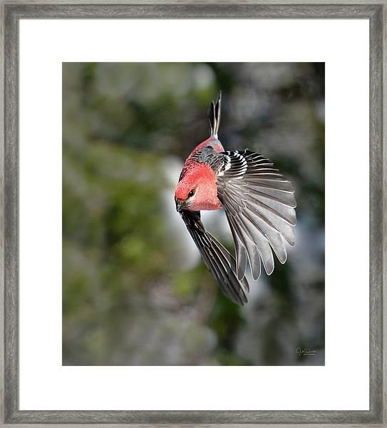 Diving Pine Grosbeak Framed Print