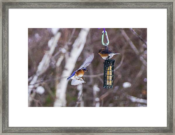 Docking Bluebird Framed Print