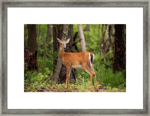 Doe, A Deer, A Female Deer Framed Print