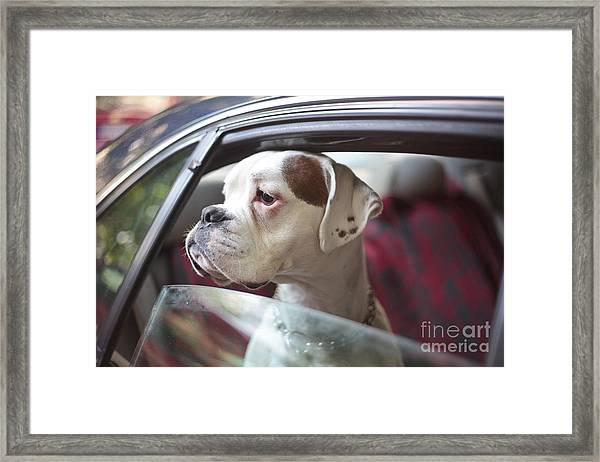 Dog In A Car Framed Print