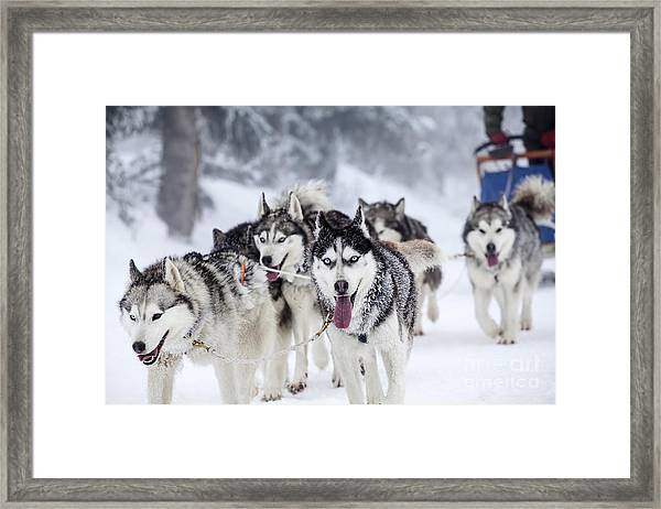 Dog-sledding With Huskies Framed Print