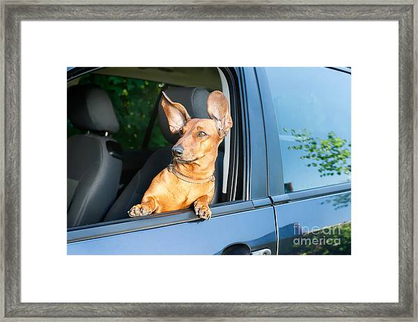 Dog Travel By Car Looking Out Of The Framed Print