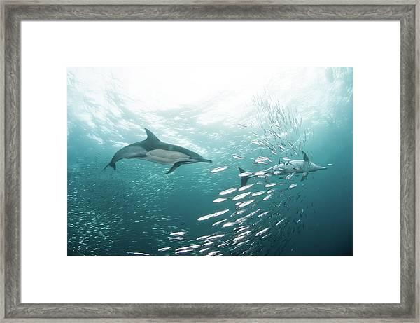 Dolphins Framed Print by Alexander Safonov