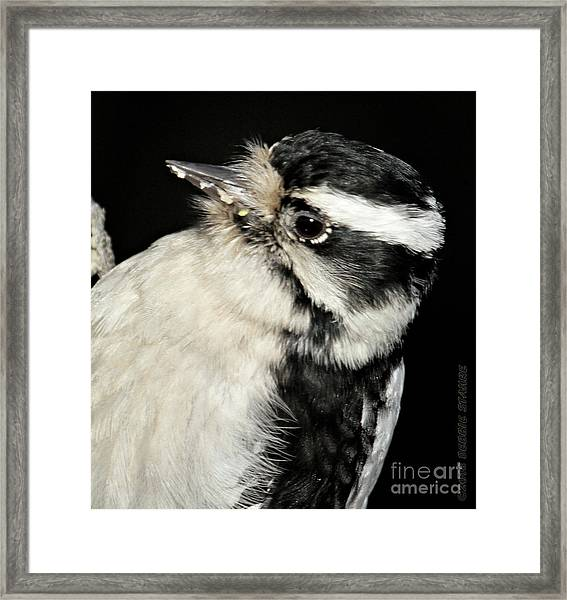 Downy Woodpecker Female Framed Print