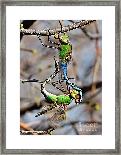 Dragonfly Love Framed Print