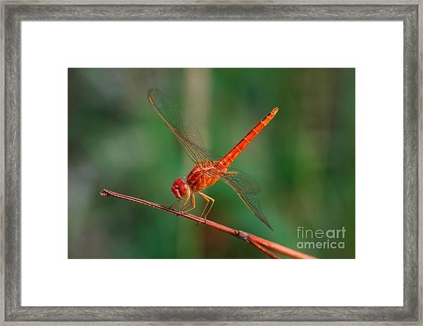 Dragonfly, Macro Dragonfly, Dragonfly Framed Print