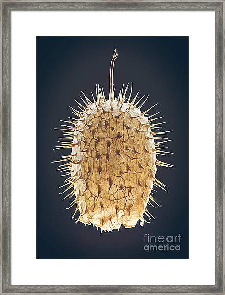 Dried Fruit Of Echinocystis Lobata Framed Print