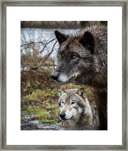 Dual Wolves Framed Print