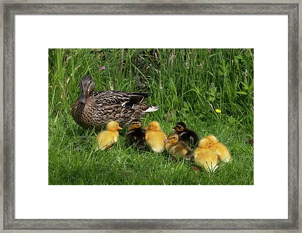 Duck And Cute Little Ducklings Framed Print