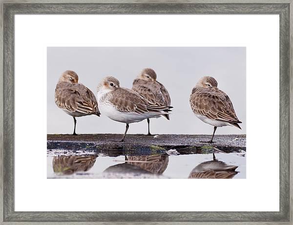 Dunlins Framed Print by Hiroyuki Uchiyama