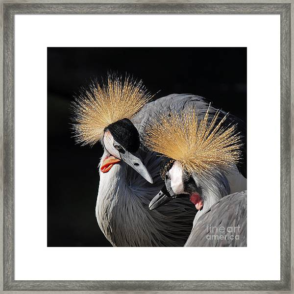 Duo Of Crowned Cranes On A Dark Framed Print