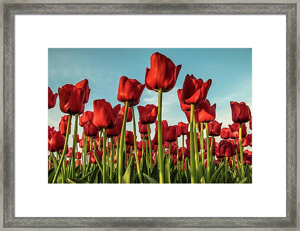 Framed Print featuring the photograph Dutch Red Tulip Field. by Anjo Ten Kate