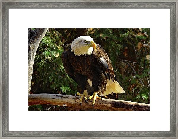 Eagle Alert Framed Print
