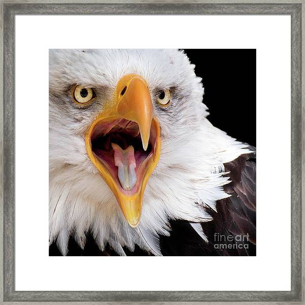 Eagle Calls Framed Print