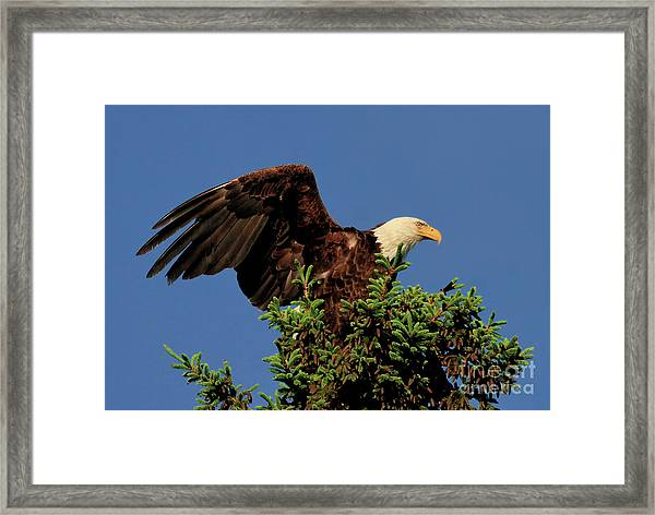 Eagle In Treetop Framed Print