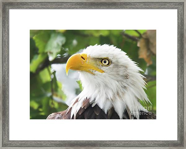Bald Eagle Perched In A Tree Framed Print