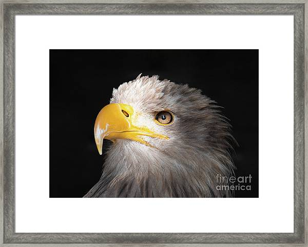 Eagle Portrait Framed Print