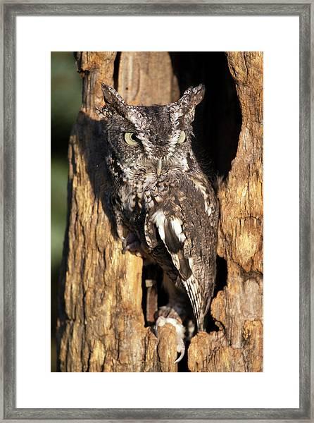 Eastern Screech Owl 92515 Framed Print